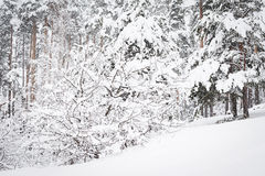 Russian winter forest in snow Stock Images