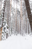 Russian winter forest in snow Royalty Free Stock Photography
