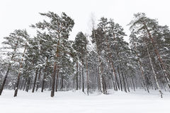 Russian winter forest in snow Stock Photo