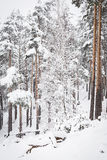 Russian winter forest in snow Stock Photos