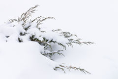 Russian winter. Green juniper sprout under snow, white background Royalty Free Stock Images