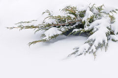 Russian winter. Green juniper sprout under snow, white background Royalty Free Stock Photography