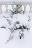 Russian winter. Green juniper sprout under snow, white background Royalty Free Stock Photo