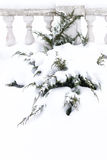 Russian winter. Green juniper sprout under snow, white background Stock Photography