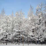Russian Winter landscape with snow. Russian Winter forest with snow and trees royalty free stock photo