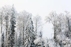 Russian winter landscape  trees in forest Royalty Free Stock Photography