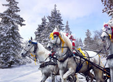 Russian winter three horses. Russian national team of horses - Troika Stock Photo