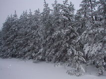 Russian Winter. Trees under snow adhering lowered their branches to the ground Stock Photo