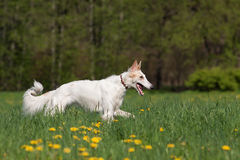Russian wolfhound Royalty Free Stock Photo
