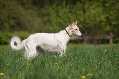 Russian wolfhound Royalty Free Stock Photography