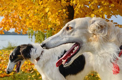 Russian wolfhounds Stock Photos