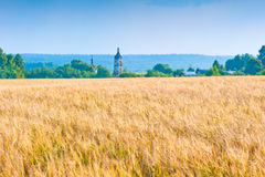 Russian yellow field with wheat harvest Stock Photo