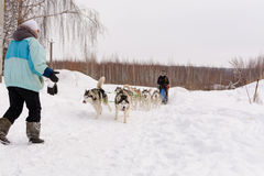 Russie kazan 14 février Poursuivez l'équipe de traîneau de chiens de traîneau sibériens mushing sur la neige tirant un traîneau q photo libre de droits