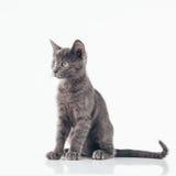 Russisch Blauw Katje Royalty-vrije Stock Afbeeldingen