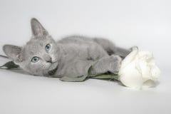 Russisch blauw katje Royalty-vrije Stock Fotografie