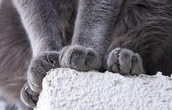 Russisch blauw kattenras Royalty-vrije Stock Foto's