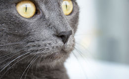 Russisch blauw kattenras Stock Foto's
