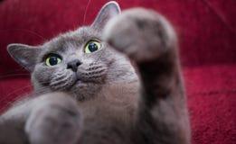 Russisch Blauw pluizig de emotiegeluk van het Katten mooi portret Stock Fotografie