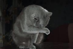 Russisch Blauw pluizig de emotiegeluk van het Katten mooi portret Royalty-vrije Stock Foto's