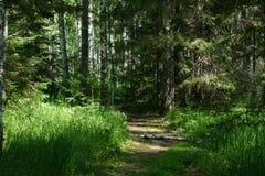 Russisch bos in de zomer Stock Afbeeldingen