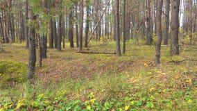 Russisch bos, taiga, Siberië Bladeren nauwelijks slingering in de wind stock video