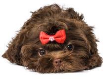 Russisch de hondpuppy van de kleurenoverlapping stock fotografie