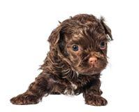 Russisch de hondpuppy van de kleurenoverlapping royalty-vrije stock foto's