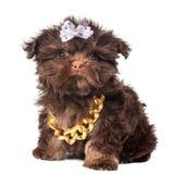 Russisch de hondpuppy van de kleurenoverlapping stock foto