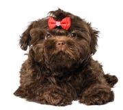 Russisch de hondpuppy van de kleurenoverlapping stock afbeelding