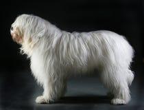 Russisch herdershondportret stock fotografie