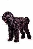 Russisch Terrier Stock Afbeelding