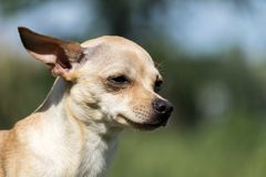 Russisch vlot-met een laag bedekt die Toy Terrier over de betekenis van het zijn wordt gedacht stock foto's