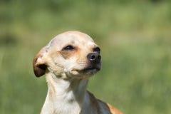 Russisch vlot-met een laag bedekt Toy Terrier drukte zijn oren en keek omhoog stock fotografie