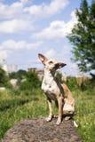 Russisch vlot-met een laag bedekt Toy Terrier plaatste zijn oren apart, zittend op een steen stock afbeelding
