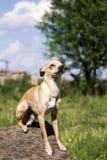 Russisch vlot-met een laag bedekt Toy Terrier zit op een steen in trotse eenzaamheid royalty-vrije stock afbeelding