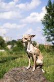 Russisch vlot-met een laag bedekt Toy Terrier zit trots op een rots stock afbeeldingen