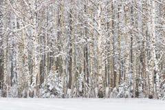 Russische Birken Russische Winterlandschaft mit schneebedeckten Birkenwaldstämmen von Suppengrün und Schnee im Winterwald gewinnt Stockbilder