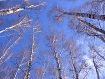 Russische Birken in Sibirien im Frühjahr mit bloßen Niederlassungen im blauen Himmel lizenzfreies stockbild