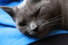 Russische blaue, graue Katze, die auf einen Schoss legt Lizenzfreie Stockfotos