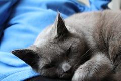 Russische blaue, graue Katze, die auf einen Schoss legt Stockfotografie
