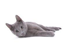 Russische blaue Katze Stockbild