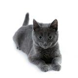 Russische blaue Katze Lizenzfreie Stockbilder