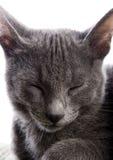 Russische blaue Katze Lizenzfreies Stockbild