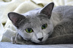 Russische blaue Katze Lizenzfreie Stockfotografie