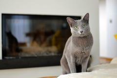 Russische blaue Katze Stockfotografie