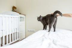 Russische blaue Katze Stockfotos