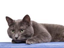 Russische blaue Katze auf blauem hölzernem Vorstand Lizenzfreies Stockbild