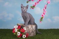 Russische blaue Katze der Kätzchen, die im Frühjahr am Tag des Grases spielt Lizenzfreie Stockfotos