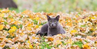 Russische blaue Katze in der Natur Stockfotos