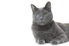 Russische blaue Katze, die auf lokalisiertem Weiß liegt Lizenzfreies Stockbild